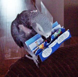 African Grey Plays with Recycled Xmas Card