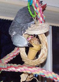 African Grey Parrot Enjoys a Rice Cake