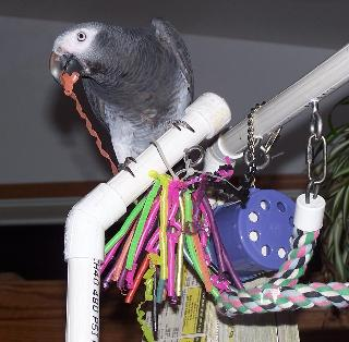 African Grey with Straw Toy