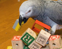 African Grey with ABC Blocks