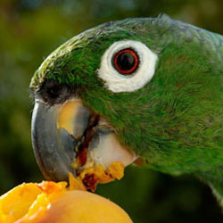 Parrot eating a peach
