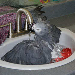Controlling Parrot Feather Dust with Bathing
