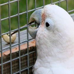 Tool Use in Parrots